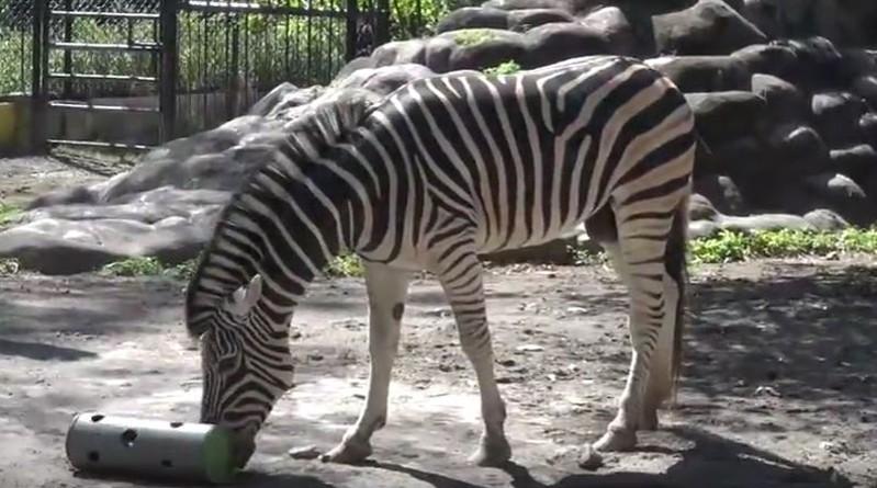 Jomblo 6 Tahun, 2 Satwa Kebun Binatang Surabaya Segera Dicarikan Jodoh