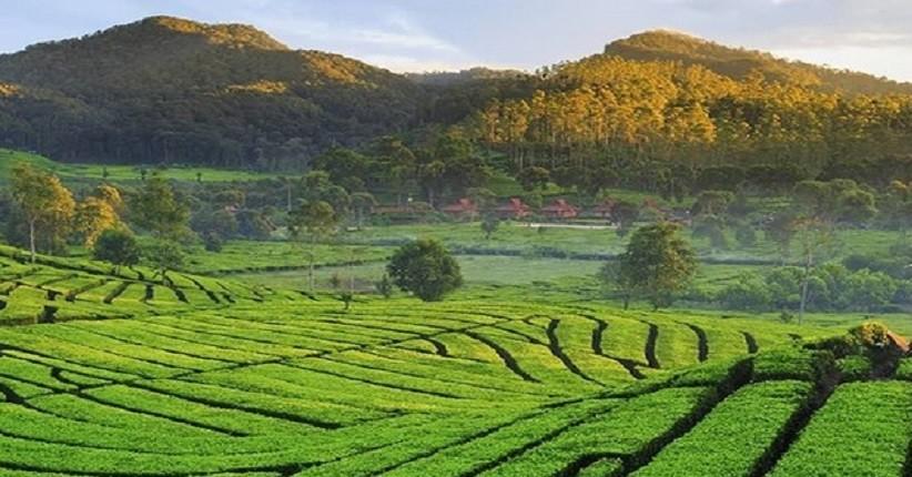 Gambar Kebun Teh Di Ciwidey Wisata Di Bandung Asyiknya Jelajahi Perkebunan Teh Rancabali Yang Instagramable
