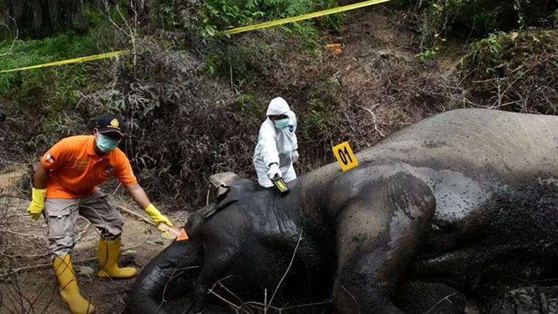 Gajah Sumatera Mati di Kawasan Perkebunan Aceh Timur, Diduga Keracunan Makanan