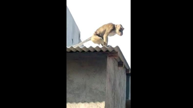 Monyet Ekor Panjang Lepas Meneror Warga Jambangan Surabaya