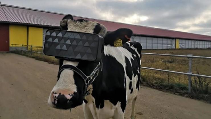 Unik, Headset VR Digunakan ke Sapi untuk Meningkatkan Kualitas Susu
