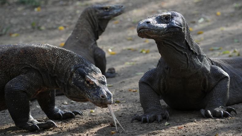 Viral Foto Komodo Lewati Truk, BTNK Tutup Pulau Rinca Hingga Juni 2021