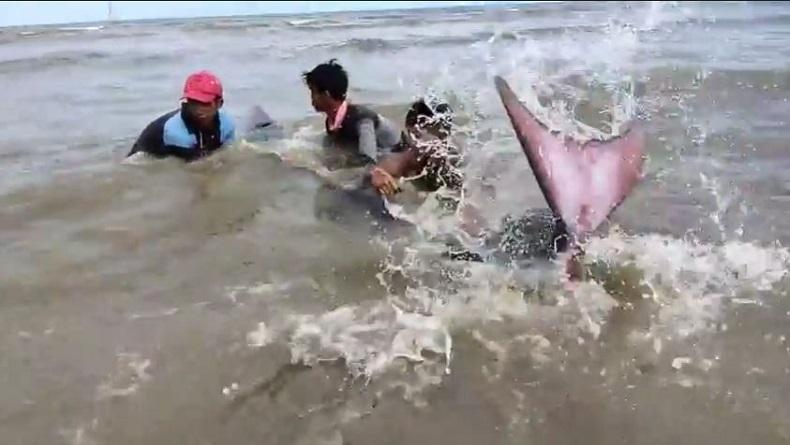 Viral, Lumba-Lumba Terdampar di Pantai Songka Palopo