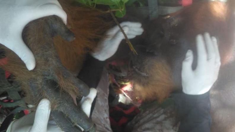 BBKSDA Sumut Lepasliarkan Orangutan ke Hutan Lindung di Tapanuli Tengah