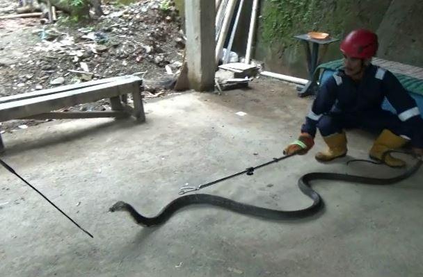 Ular Kobra 2 Meter Masuk Dapur Rumah di Situbondo, Petugas Damkar Evakuasi dengan Kayu