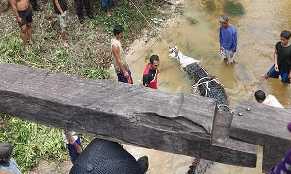 Buaya Berbobot 500 Kg Ditangkap Warga Kotawaringin Barat dari Sungai Pakit