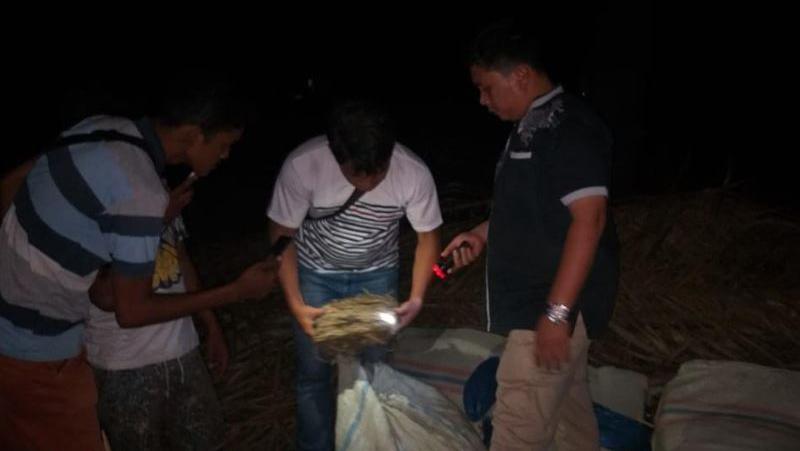 Polisi Temukan 285 Kg Ganja Tak Bertuan di Kebun Sawit PTPN III Padangdisimpuan