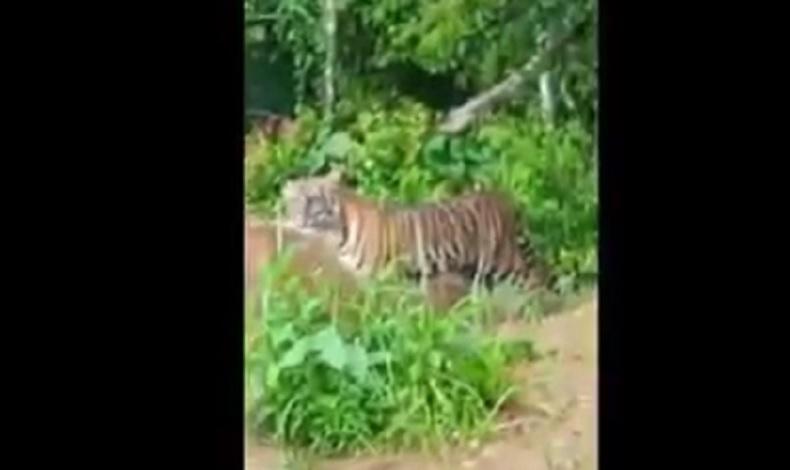2 Ekor Harimau Sumatera Teror Warga Kerinci Jambi, Berkeliaran di Kebun