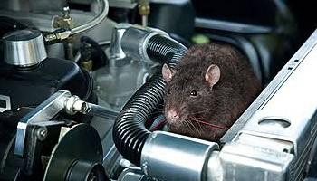 Mobil Lama Diam di Rumah, Waspada Serangan Tikus