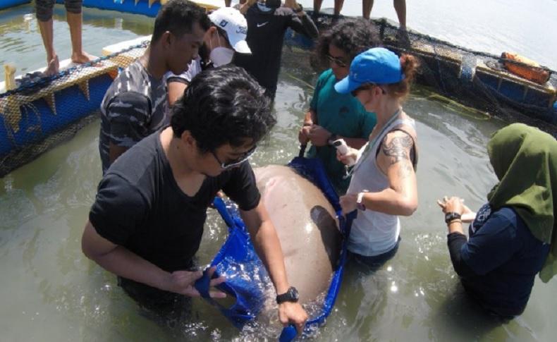 BKSDA Kalbar Lepasliarkan Dugong Tersangkut Jaring Nelayan di Perairan Kendawangan