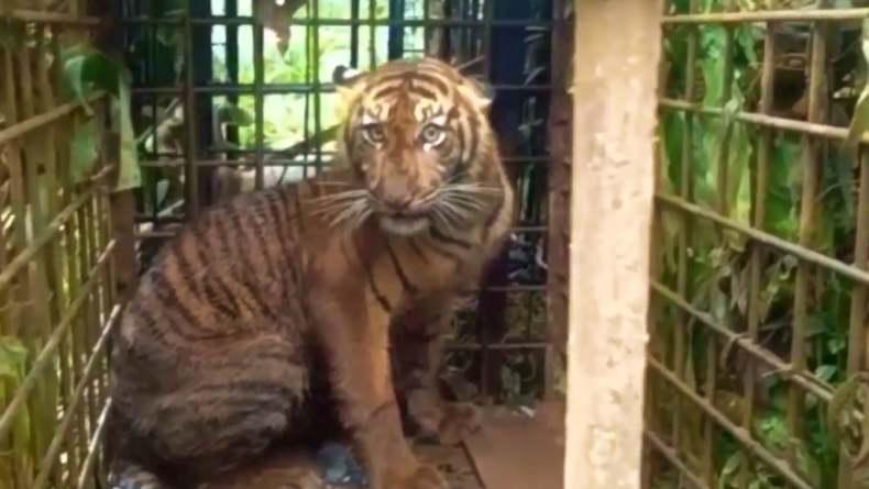 Petugas BKSDA Pasang Kamera Trap Usai Harimau Serang Kerbau Warga Agam