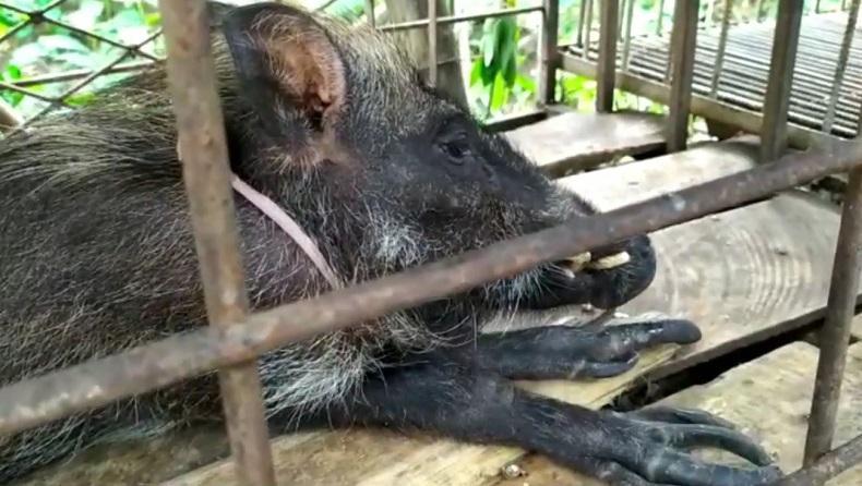 Unik, Babi Hutan Berjari Ada di Banyumas, Suka Makan Nasi dan Kopi