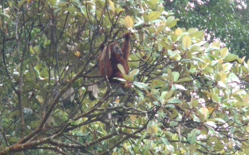 Orangutan Terlihat di Kawasan Hutan Danau Lau Kawar, Ini Penjelasan BBKSDA Sumut