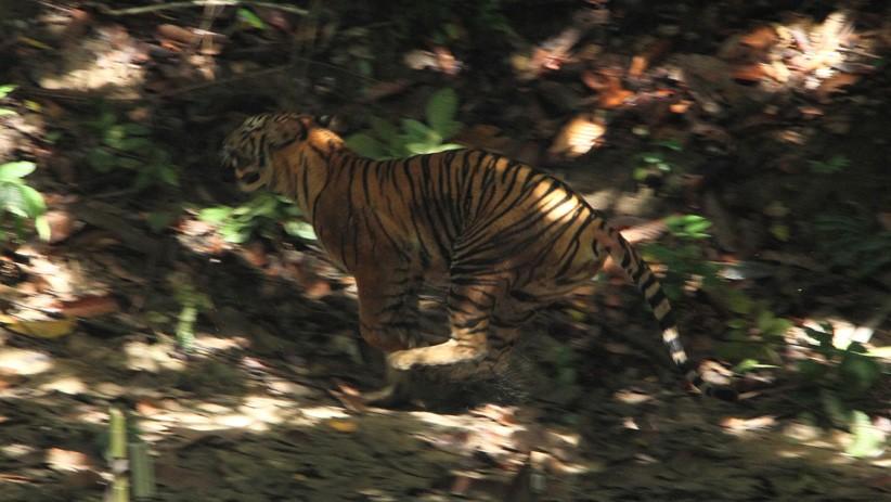 Harimau Sumatera Terlihat di Kawasan Gunung Sibayak Karo