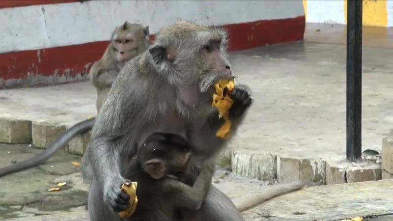Monyet di Wendit Kelaparan karena Covid-19, Warga Malang Ini Galang Donasi