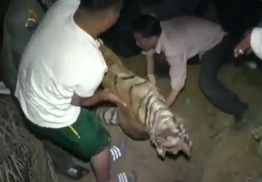 Harimau Sumatera di Madina Mati usai Makan Kambing yang Diberi Racun