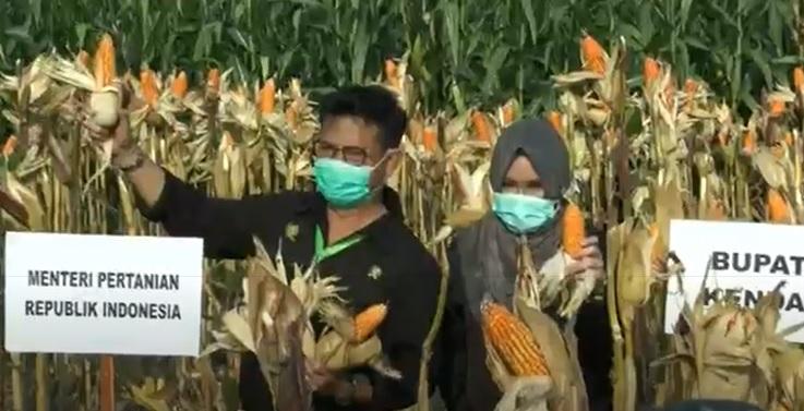 Panen Jagung di Kendal, Mentan Ajak Petani di Jateng Terus Tingkatkan Produksi