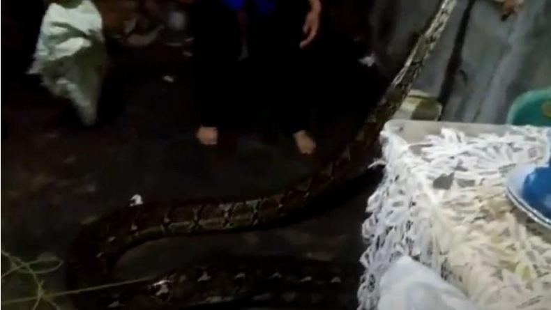 Ngeri, Ular Piton 6 Meter Mangsa Anjing Hidup-Hidup dalam Rumah Warga di Sibolga
