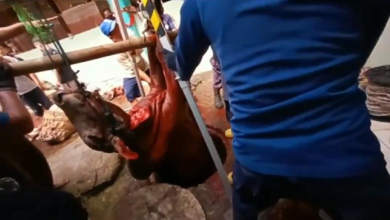 Sapi Kurban di Semarang Masuk Sumur, Petugas Damkar Bantu Evakuasi