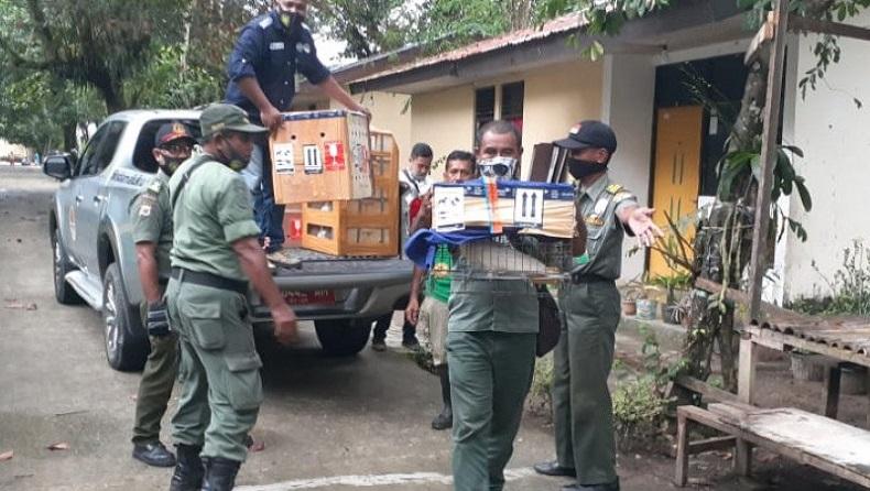 Ratusan Hewan Dilindungi Dilepasliarkan di Maluku, Hasil Sitaan di 3 Provinsi di Indonesia