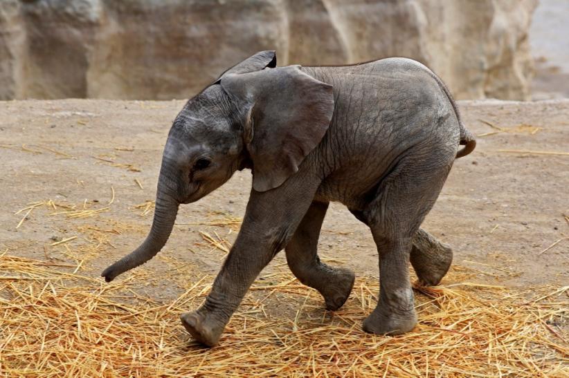 Proses Kelahiran Disiarkan Langsung, Bayi Gajah Ini Diberi Nama Zoom