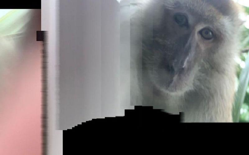 Pria Malaysia Kaget Temukan Handphone-nya Penuh Foto Selfie Monyet setelah Sempat Hilang