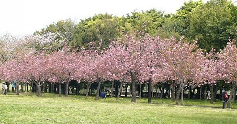 Wisata Di Kebun Raya Cibodas Indah Bisa Lihat Bunga Sakura Dan Pohon Langka Bagian All