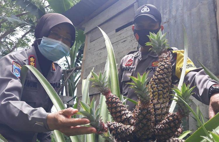 Sukses Kembangkan Pupuk Organik, Aiptu Feri Nohrito Ingin Wujudkan Sentra Nanas
