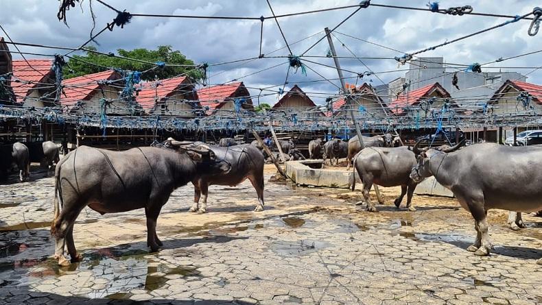 Pasar Hewan Bolu Toraja Utara, Pesona Pasar Kerbau Terbesar di Dunia