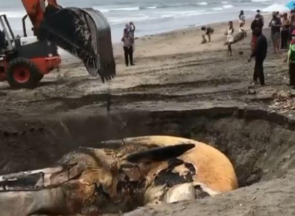 Paus 13,8 Meter Ditemukan Mati Membusuk di Pantai Canggu Bali