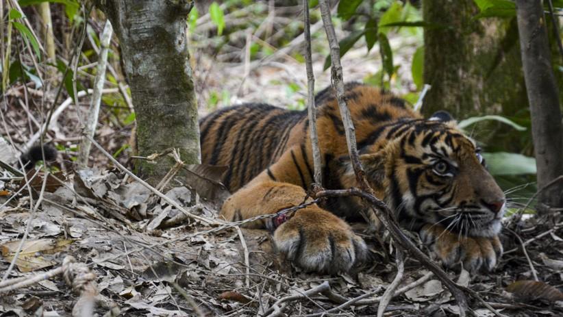 Ngeri, 2 Harimau di Kebun Binatang Lepas, Seorang Pawang Tewas Diserang
