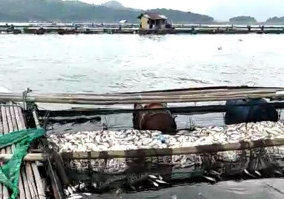 Rugi Miliaran Rupiah, Petani KJA Waduk Jatiluhur Tak Kapok Tanam Ikan