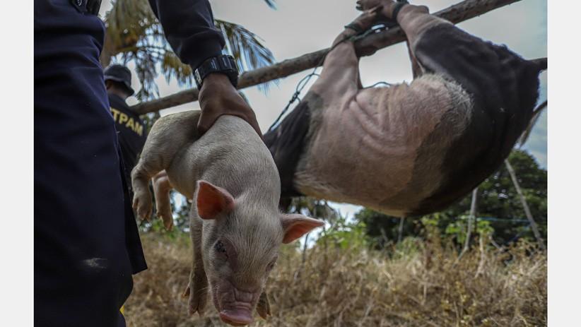 Belasan Peternakan Babi Ilegal di Kawasan Bandara Hang Nadim Batam Dibongkar - Bagian 2