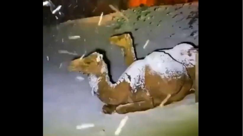 Salju Turun di Arab Saudi, Begini Reaksi Unta ketika Diterpa Butiran Es