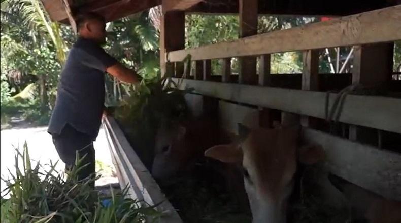 Tingkatkan Ekonomi Masyarakat, Pemkab Pidie Jaya Laksanakan Program Penggemukan Sapi