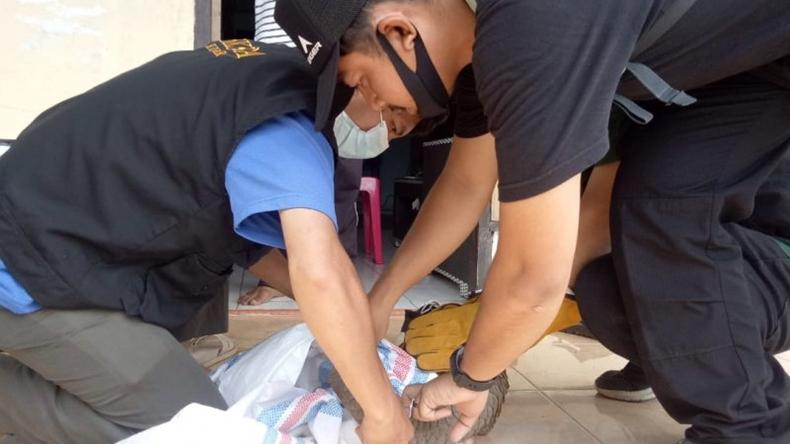 Ditemukan Warga di Jalan Raya, Seekor Trenggiling Dievakuasi KSDA Agam