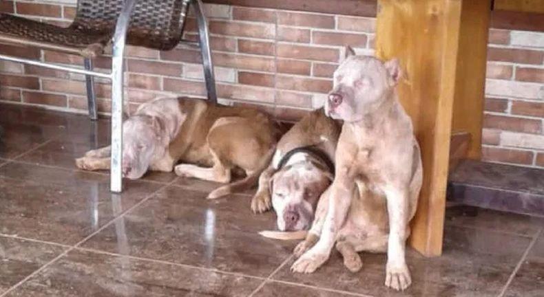 Tragis, Pria Ini Tewas Mengenaskan Diserang 7 Anjing Pitbull saat Jalan Pagi