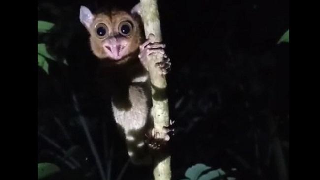 2 Primata Jenis Tarsius Dilepasliarkan di Hutan Konservasi Pulau Bangka