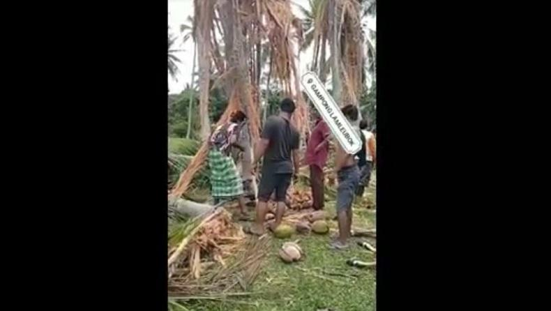 Video Pohon Kelapa Hancur dan Sapi Mati Viral, Diduga akibat Tersambar Petir
