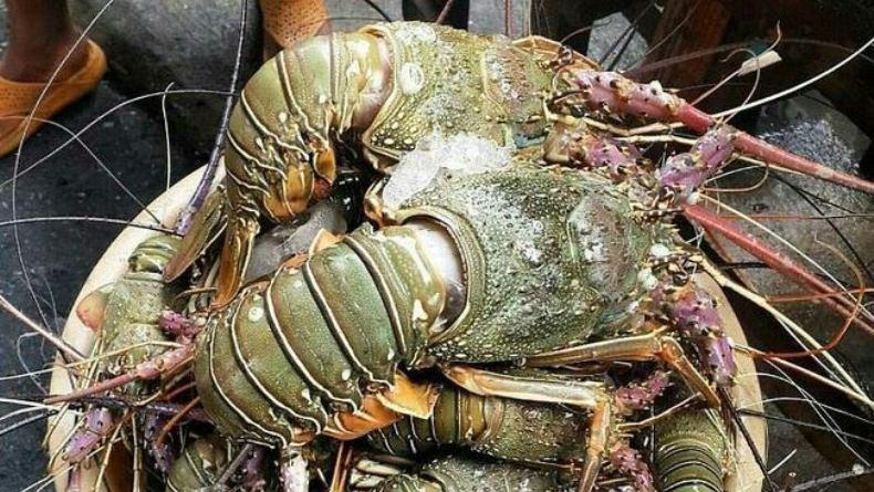 Menteri KKP Ingin Lombok Jadi Pusat Budi Daya Lobster Kelas Dunia