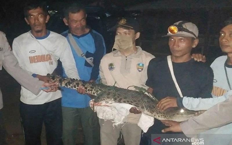 Nelayan Pantai Jayanti Cianjur Tangkap Buaya Muara 1,5 Meter