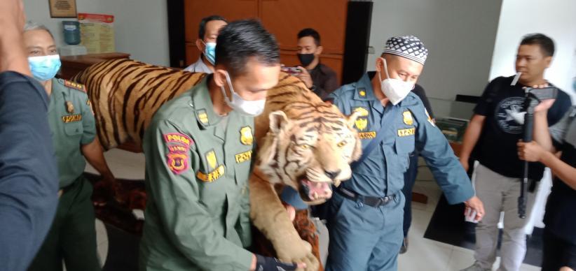 Polda Jambi Tangkap 3 Penjual Offset Harimau dan Sepasang Gading Gajah Sumatera