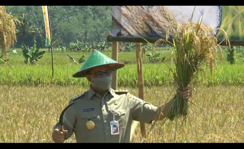 Kolaborasi Panen Bersama di Cilacap, Anies Pastikan Ketahanan Pangan DKI Terjaga