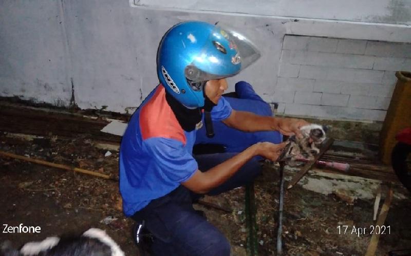Aksi Heroik Petugas Damkar Kuningan Selamatkan Anak Kucing dari Gorong-gorong