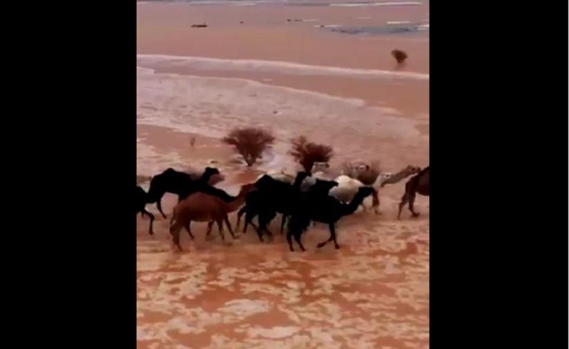 Viral Video Kawanan Unta Terjang Banjir Bandang di Tengah Gurun Arab Saudi