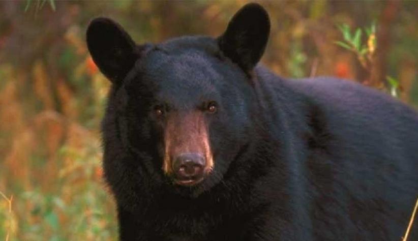 Tragis! Perempuan Dimangsa Satu Keluarga Beruang saat Jalan-Jalan di Gunung