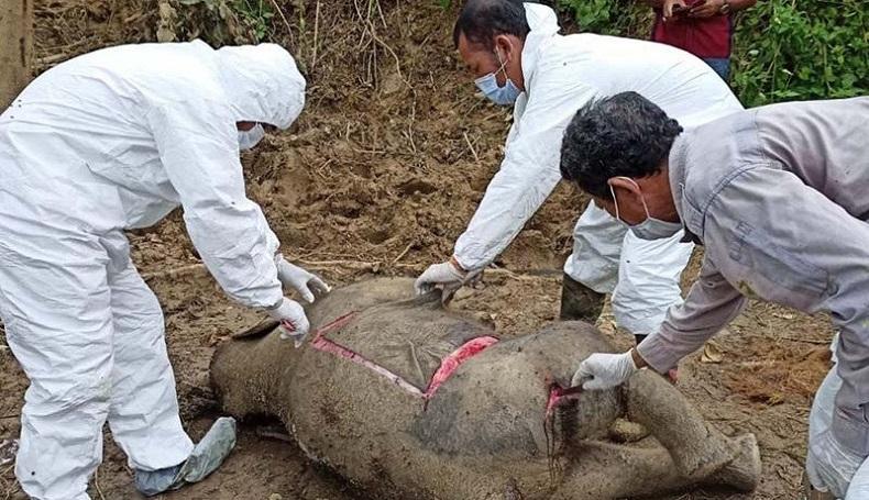Anak Gajah Sumatra Ditemukan Mati di Aceh Timur, Diduga karena Sakit
