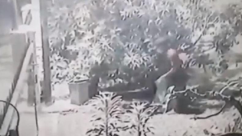 Viral Aksi Pencurian Sekarung Mangga di Medan Terekam CCTV