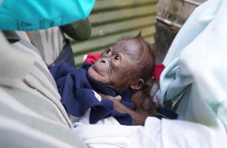 Koleksi Orang Utan Kalimantan di GL Zoo Melahirkan