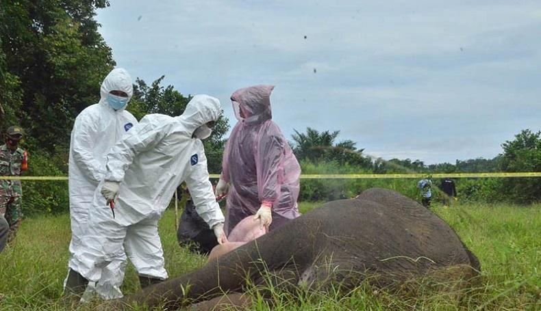 BKSDA Aceh Temukan Racun dari Bangkai Gajah Tanpa Kepala